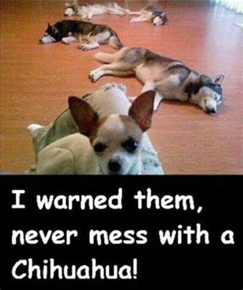 Most Hilarious Memes - top 21 most funniest chihuahua memes quotes words sayings