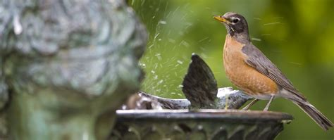 backyard wild birds backyard birding tips birdbaths
