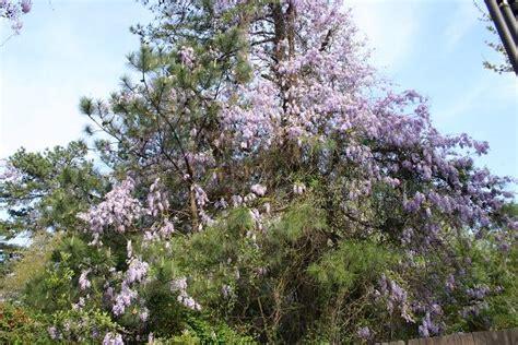 wisteria sinensis invasive 14047 trendir