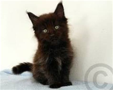 maine coon kitten pictures: cute photos of maine coon