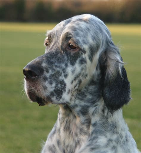 setter dogs setter breed information puppies pictures