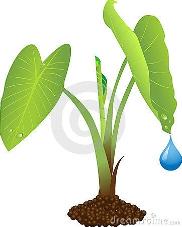 Tropical Root Vegetable - taro plant royalty free stock photo image 10766205