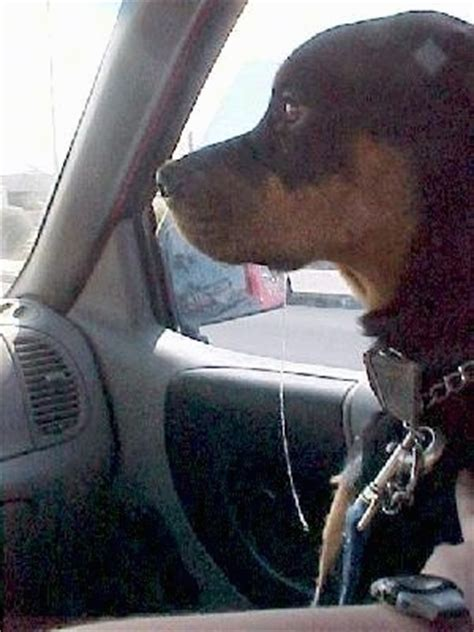 do rottweilers drool drool pictures 7