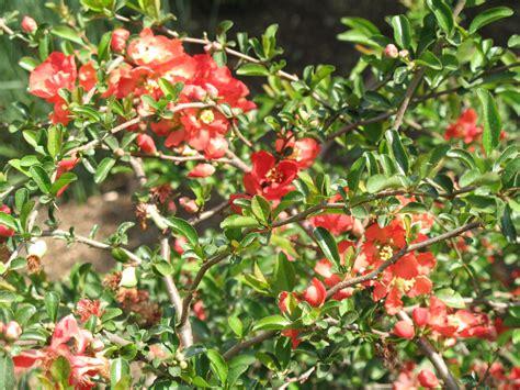 flowering quince shrub plant guide chaenomeles x superba scarlet