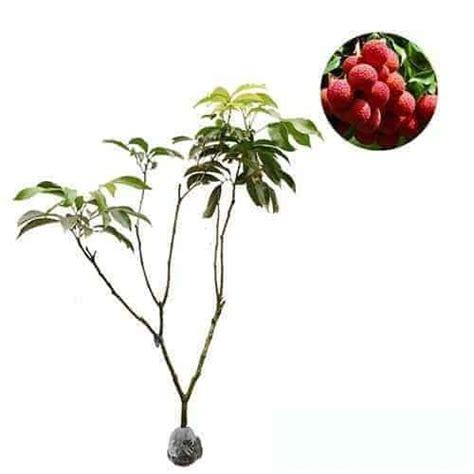 Penjual Bibit Buah Leci jual tanaman leci kom lychee bibit