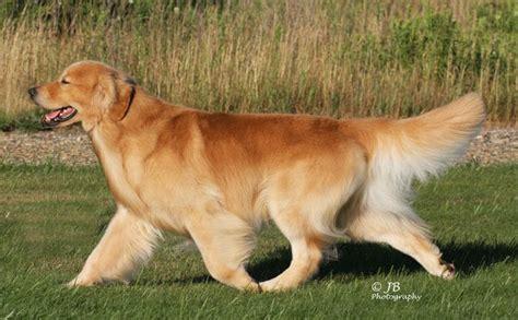 abelard golden retrievers 17 best images about golden retriever on beautiful dogs the golden and