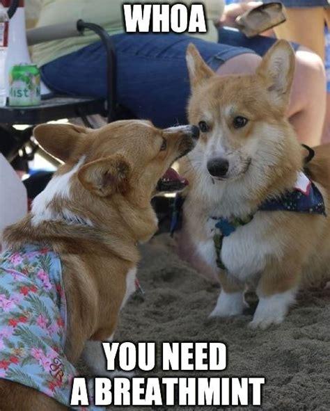 Corgi Puppy Meme - 8 best corgi memes images on pinterest corgis baby
