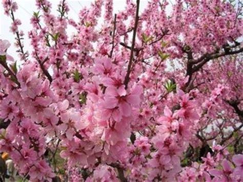 pesco da fiore alberi da fiore alberi