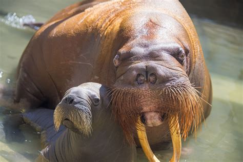 SeaWorld Orlando welcomes its first baby walrus born in ...