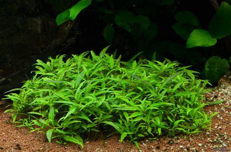 Carpet Calculator staurogyne sp quot porto velho quot flowgrow aquatic plant database