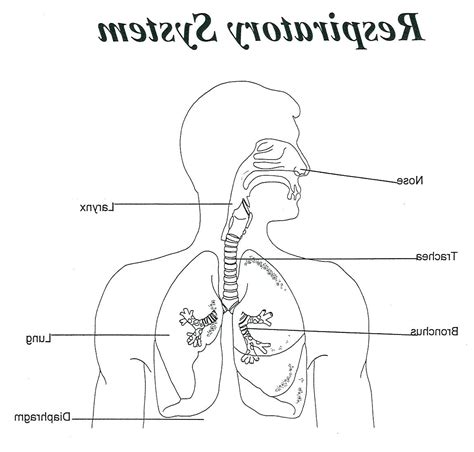 respiratory system unlabelled diagram the respiratory system diagram unlabelled drawing program