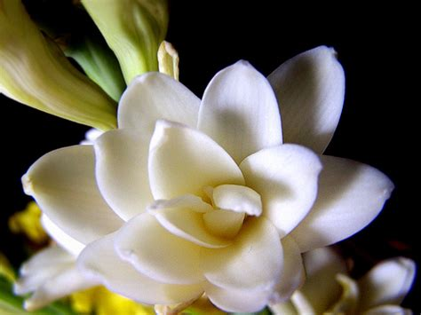 budidaya bunga sedap malam roro anteng bibitbungacom