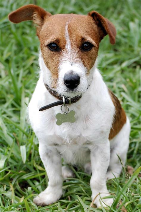 russel puppy terrier breed 187 information pictures more