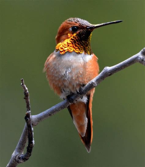 rufous hummingbird bird song pinterest