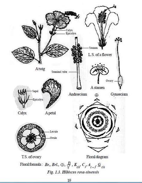 floral diagram of hibiscus what is flolar formula of hibiscus quora