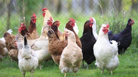 Proposed Rules For Egg Industry Call For Phasing Out Small My Backyard Chickens