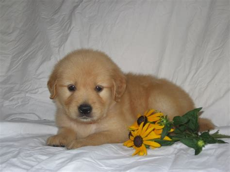 golden retriever puppies pennsylvania 2017 attractive golden retriever breeders in pa temperament pictures images