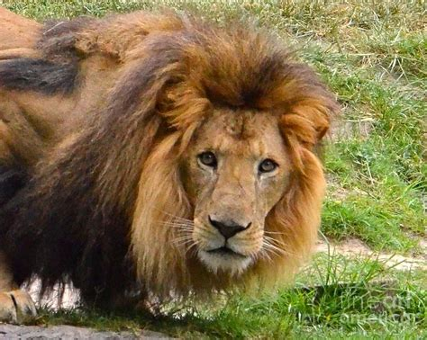 couching lion crouching lion photograph by carol bradley