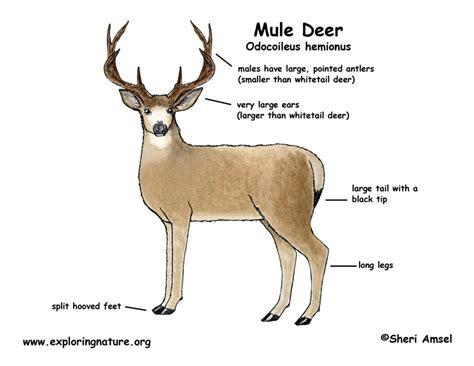 where to shoot a deer diagram deer mule