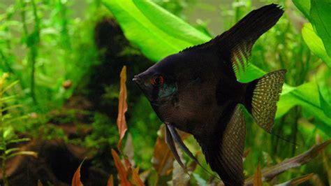 Saklar Headl Tiger asian aquarium