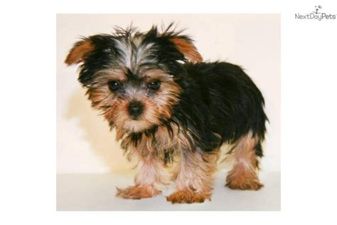 full grown teacup yorkie dog breeds picture
