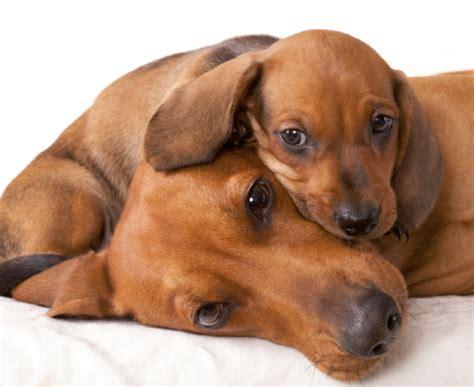 cani alimentazione alimentazione dei cani in gravidanza quattro ze