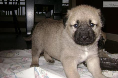 anatolian shepherd puppies for sale find anatolian shepherd dogs puppies for sale adoption breeds picture