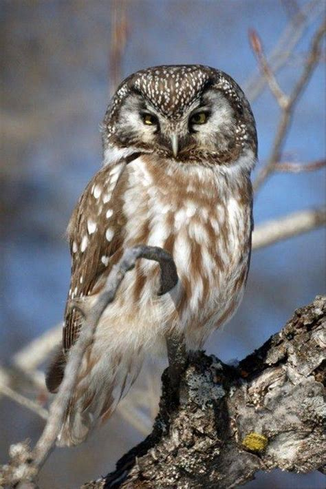 wisconsin owls identification wisconsin winter takes toll on owls