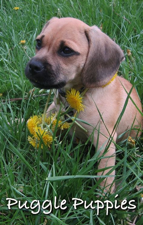 pug puggle mix a complete guide to the puggle a pug beagle mix breed