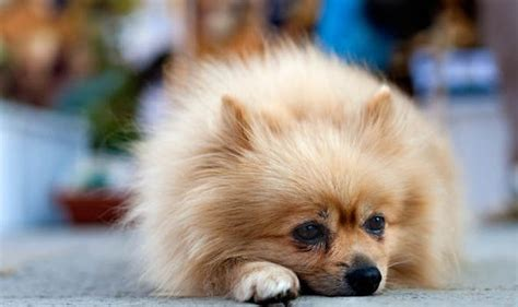 pomeranian alopecia x how can i stop my losing its hair can my vet treat my pomeranian s alopecia x