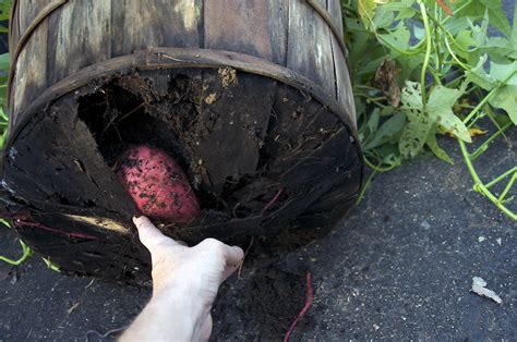 grow your own sweet potatoes outlaw garden sweet potatoes outlaw garden