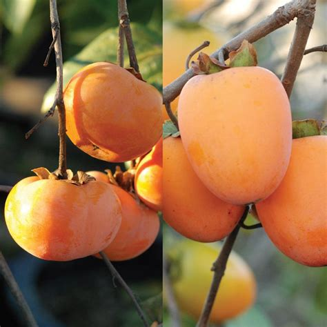 persimmon fruit tree for sale play asian persimmon tree collection stark bro s