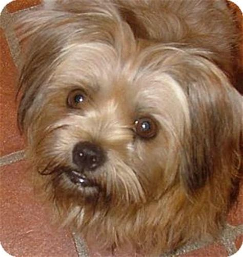 maltese yorkie mix rescue adopted allentown pa yorkie