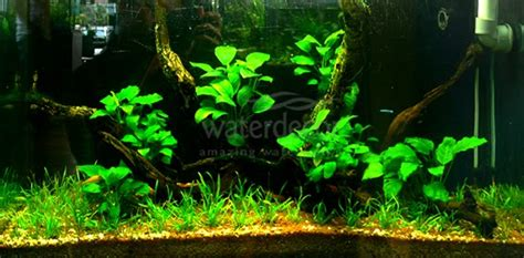 rahasia membuat aquascape seni aquascaping anubias garden waterdecor splashnews