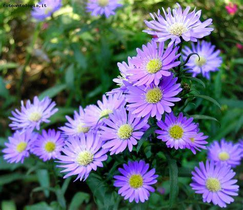aster fiori fiori aster crown scheda foto fotoantologia