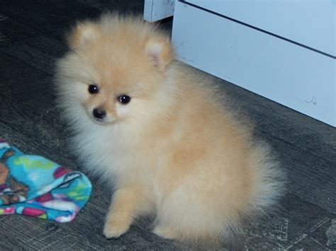 puppies for sale los angeles pomeranian puppies for sale los angeles ca 202895