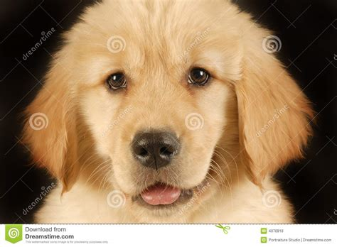 looking for golden retriever puppies golden retriever puppy royalty free stock photos image 4070818