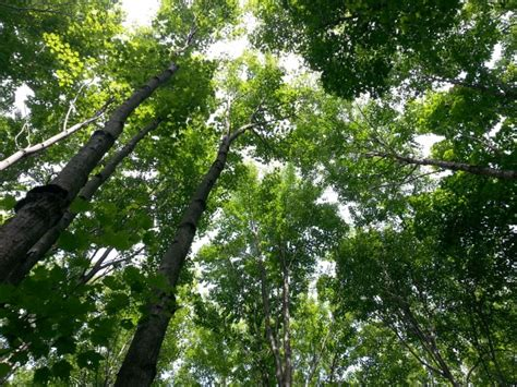 tree tops treetops free stock photo domain pictures