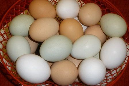 Backyard Chicken Eggs Interesting Facts About Chicken Eggs Backyard Chickens Community