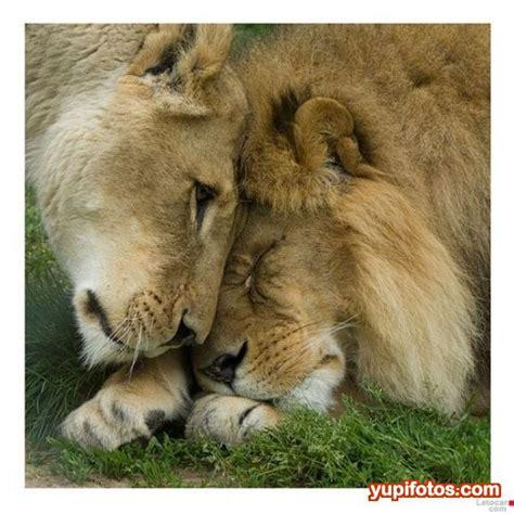 imagenes de leones amorosos noviembre 2014 im 225 genes de enamorados