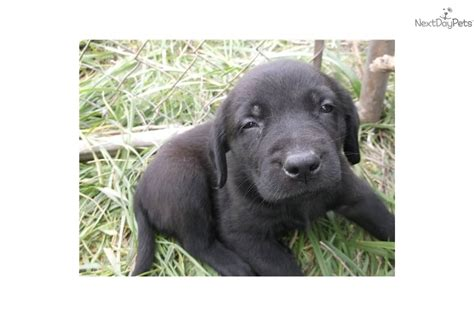 blockhead lab puppies adopt gunner a labrador retriever puppy for block labs gunner