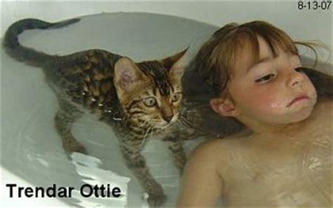 kitten swimming in bathtub bengal kittens