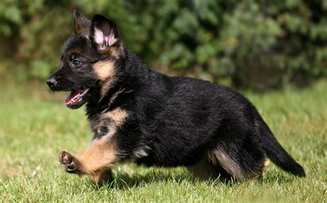 german shepherd puppie index of wp content gallery german shepherd puppies