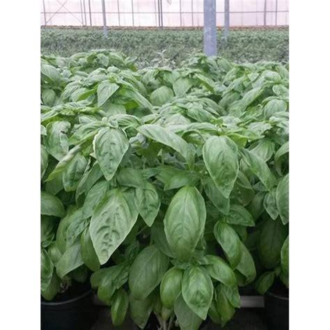 come si pianta il basilico in vaso come si pianta il basilico crescita semi basilico with