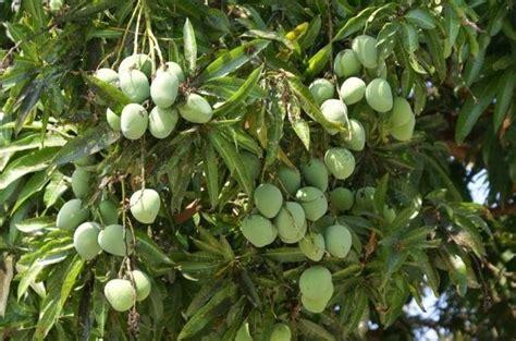 Bibit Alpukat Sudah Berbuah cara menanam mangga agar cepat berbuah belajar berkebun