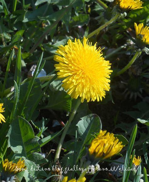 fiore di tarassaco tarassaco fiori di tarassaco semi di lino
