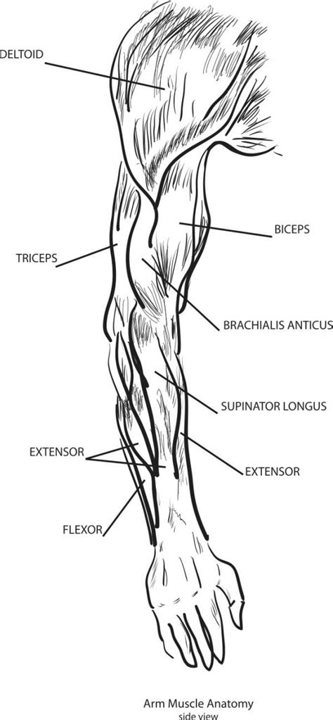 sections of the arm two jointed muscles of the arms how to train them
