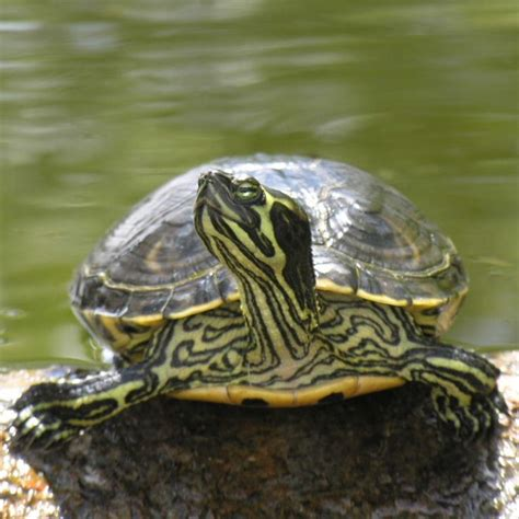 25 best ideas about yellow belly turtle on pinterest baby red eared slider baby turtles and