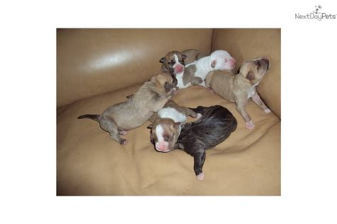 american staffordshire terrier puppies for sale near me american staffordshire terrier puppy pictures view more american breeds picture