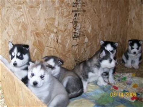 blooded wolf puppies for sale in siberian husky puppies in oklahoma